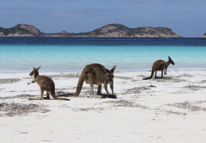 The beach at Lucky Bay Western Australia with kangaroos.