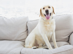 Dog with allergies sitting on couch